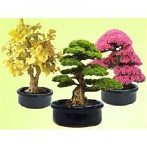 Bonsai Sevgi Ağacı